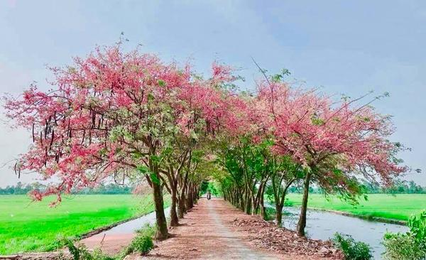 Đến An Giang vào thời điểm này, bạn sẽ choáng ngợp trước những con đường quê ngập tràn sắc hoa ô môi