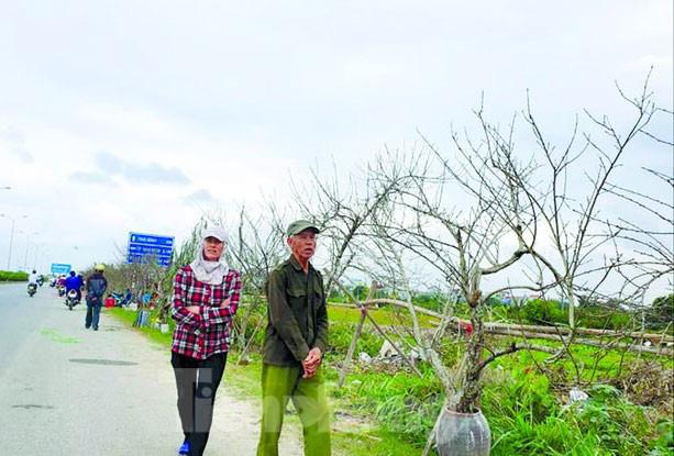 Người dân bán cành đào tại Mộc Châu,Sơn La dịp tết 2019. Ảnh: Tiền phong