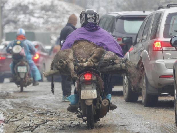 Người dân chạy xe máy chở theo những con trâu bò chết rét
