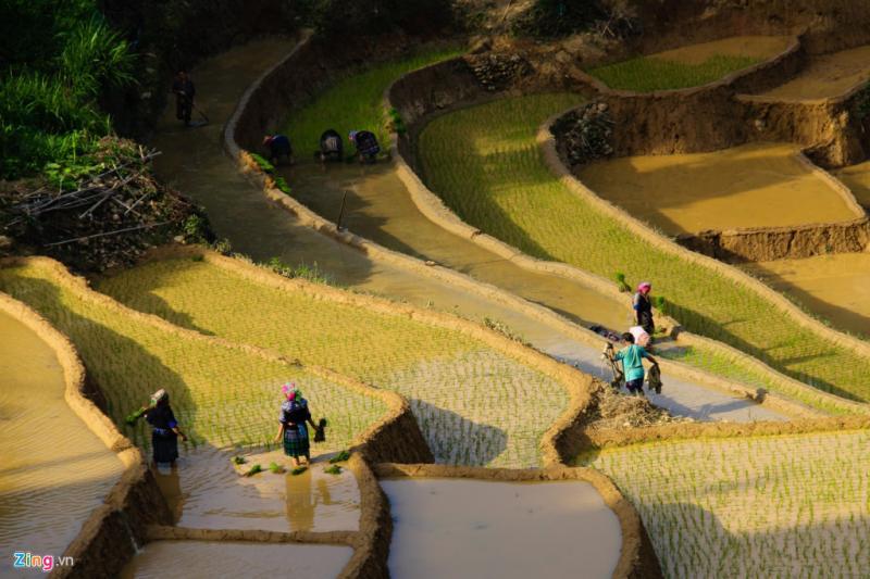 Thăm Tây Bắc vào tháng 6, du khách dễ dàng thấy hình ảnh cấy lúa của đồng bào vùng cao.