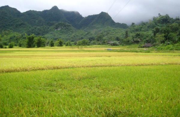 Cánh đồng lúa xã Yên Thổ (Bảo Lâm).