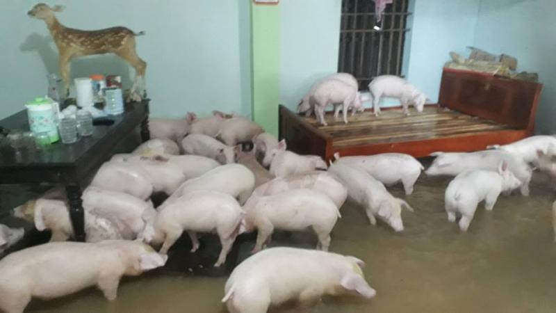 Mưa lũ kéo dài, người dân phải cho lợn lên nhà