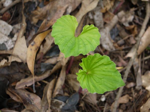 Trên thế giới, cây một lá còn phân bố ở Trung Quốc, Thái Lan. Ảnh Tranthanhhai.