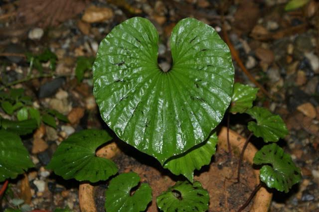 Tất cả các bộ phận của cây một lá đều có thể dùng làm thuốc. Cây có thể dùng tươi hoặc phơi khô. Ảnh Blogspot.