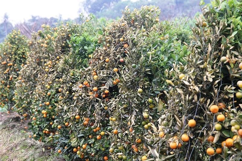 Hơn 400 gốc quất cảnh tết là tài sản lớn nhất của hai nông dân gom góp, cần mẫn suốt hai năm đã bị kẻ gian hủy hoại. Ảnh: Đ. TRUNG