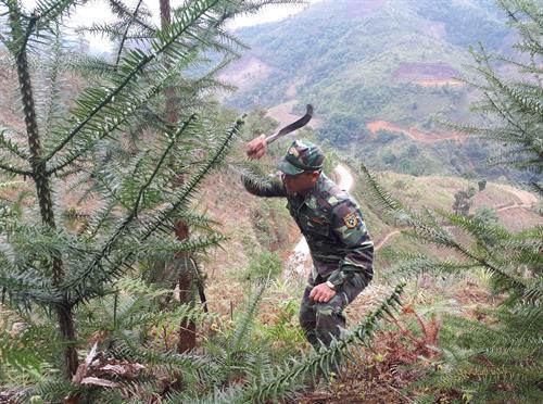 Bộ đội Biên phòng giúp dân chăm sóc cây sa mộc. Ảnh: Chu Hiệu - TTXVN