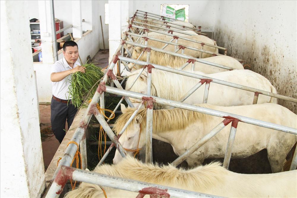 Anh Dương Xuân Trường - Chủ cơ sở sản xuất cao ngựa bạch chia sẻ: Một con ngựa bạch tốt thì những bộ phận quan trọng của con ngựa được cấu tạo theo nguyên lý như: mắt tây, mõm hồng, móng màu trắng ngà.