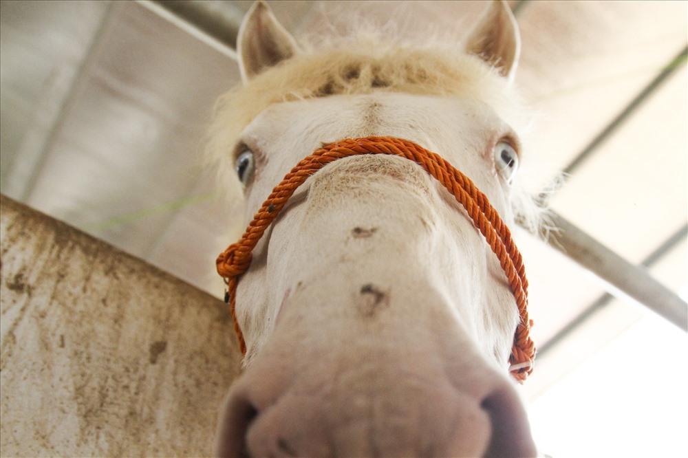 Do không có khu đất rộng để chăn thả ngựa nên người dân Làng Phẩm vẫn chăn nuôi với quy mô nhỏ lẻ và họ cũng mong muốn chính quyền địa phương có những chính sách hỗ trợ bà con để quy mô nuôi ngựa bạch của người dân được nhân giống rộng rãi, đáp ứng được nhu cầu ngày càng cao của thị trường.