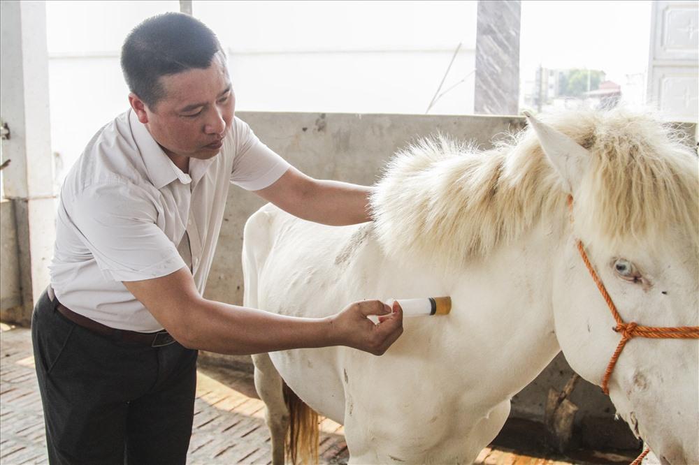 Con ngựa bạch này được anh Trường chọn mua từ trên Cao Bằng về. Trước khi ghép đàn ngựa được tiêm phòng đầy đủ tránh lây nhiễm bệnh chuyển vùng. Cũng theo anh Cường giống ngựa bạch có sức sống rất mãnh liệt nhưng nếu ai không biết cách chăm sóc thì ngựa sẽ ốm yếu và có thể chết bất cứ lúc nào.