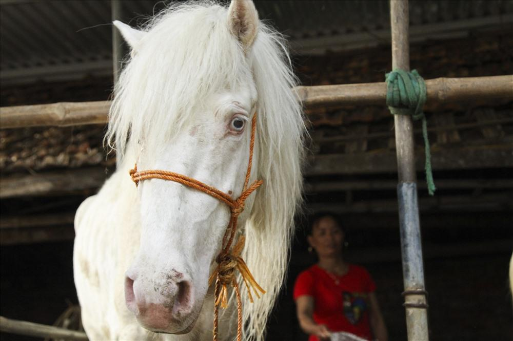 Một con ngựa bạch có thể chế biến thành nhiều sản phẩm mang lại giá trị kinh tế cao: Giá thịt ngựa 230.000vnđ/kg, giá giò ngựa 280.000vnđ/kg, cao ngựa bạch có giá 1.200.000vnđ/lạng.
