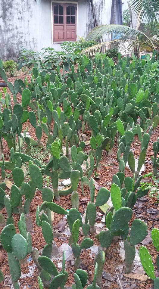 Vườn xương rồng được trồng để ăn và bán của gia đình