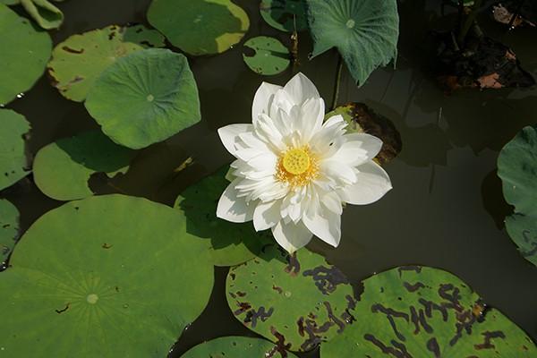 Sen trắng tượng trưng cho vẻ đẹp tinh khiết.