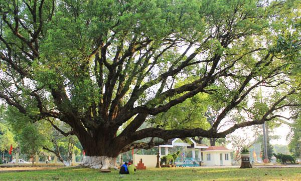 Trong khuôn viên biệt điện có nhiều cây cổ thụ, đặc biệt là hai cây long não được trồng đối xứng, được cho là lớn nhất Việt Nam.