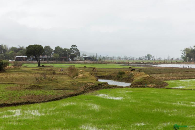 Dọc đường đi vào buôn là những cánh đồng xanh mướt màu của mạ non, khung cảnh rất bình yên và thư thái.