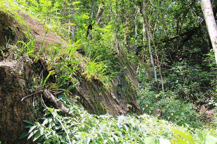 Lan rừng mọc trên đá