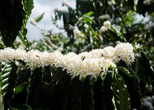 Một bông, hai bông, rồi chả mấy chốc cả cành, cả cây, rồi cả triền đồi được phủ một màu trắng tinh khôi của hoa cà phê. Đi trong vùng cà phê đang trổ hoa, chúng ta sẽ cảm nhận được hương thơm thuần khiết, thoang thoảng không lẫn vào đâu được. Đây cũng là lúc những chú ong mật cặm cụi, miệt mài hút từng giọt mật tinh khiết để tạo nên thứ mật ong nức tiếng thơm ngon.