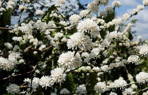 Từng chùm hoa trắng muốt đậu trên cành, sáng rực cả một vùng tạo nên những hình ảnh huyền ảo, tựa như tuyết rơi ở xứ ôn đới xa xôi.