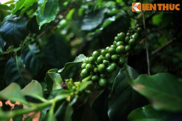 Bao bọc xung quanh làng cà phê là khu vườn cà phê xanh mướt với nhiều chủng loại cây cà phê như Robusta, Arabica, Excelsa…