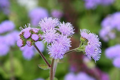 Hoa cứt lợn hay còn gọi là hoa ngũ sắc- Ảnh songkhoe.vn
