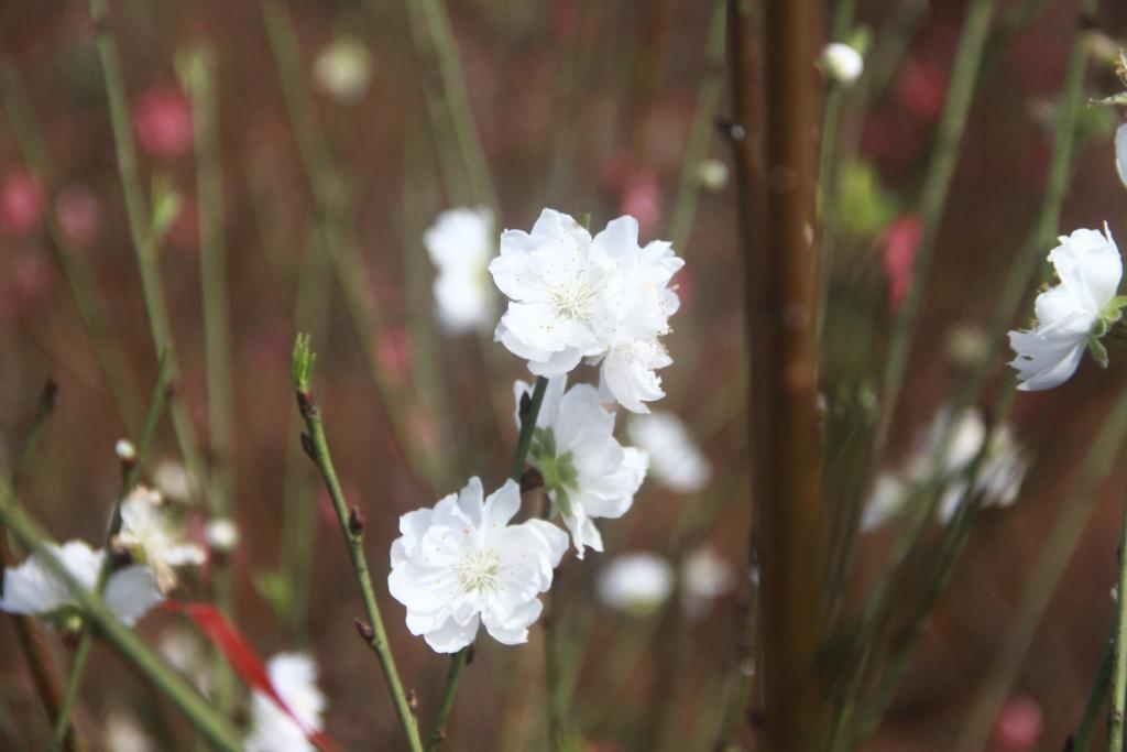 Đào Tuyết được gia đình chị Hằng trồng thử năm đầu trên mảnh đất Tây Nguyên. Ảnh: Trang Anh