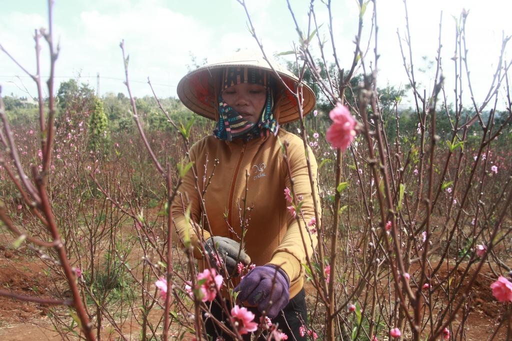 Chị Hằng đã có 10 năm kinh nghiệm trồng đào Nhật Tân trên mảnh đất Tây Nguyên. Ảnh: Trang Anh