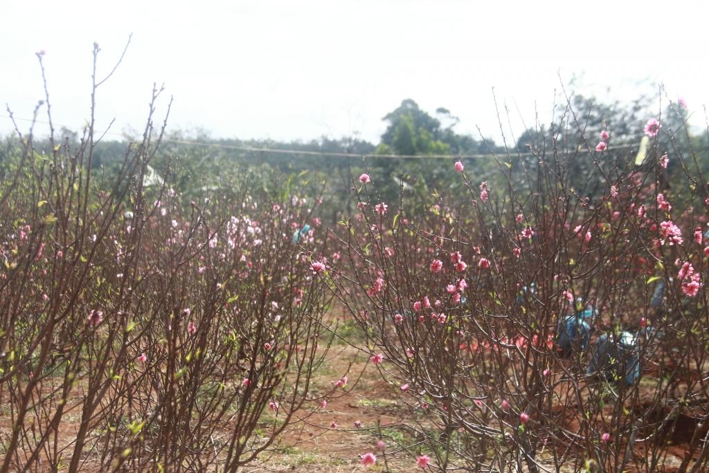 Hoa đào miền Bắc được người dân đưa vào Tây Nguyên trồng. Ảnh: Trang Anh