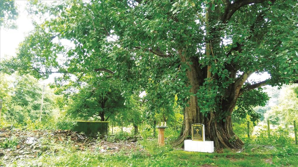 Cây bồ đề hơn 130 năm tuổi đã được công nhận cây di sản. Ảnh: H.V.M
