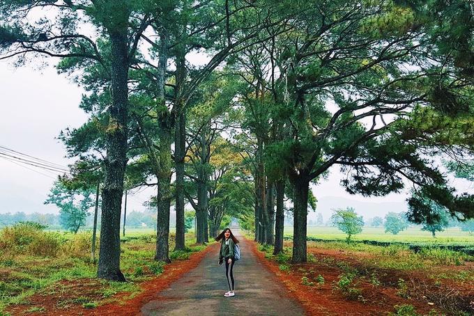 Đường quanh đồi chè Gia Lai Cách thành phố Pleiku tầm 13 km, đồi chè Gia Lai thuộc địa phận huyện Chư Păh. Nơi đây hấp dẫn nhiều du khách, đặc biệt là giới trẻ bởi khung cảnh xanh mướt mát của con đường cây lá kim giống như bối cảnh nhiều bộ phim Hàn Quốc. Ảnh: Thùy Dương.