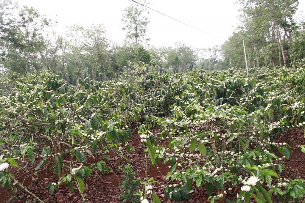 Khoảng thời gian này trong năm, khắp đất trời Tây Nguyên gồm Đắk Lắk, Gia Lai, Kon Tum, Đắk Nông, Lâm Đồng được nhuộm bởi những bông cà phê trắng muốt, tinh khôi.