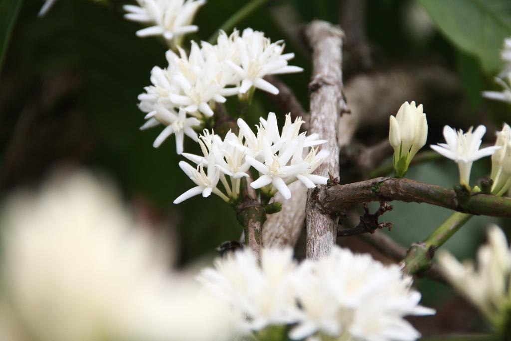 Mặc dù mang trong mình nét đẹp trong trẻo, nhưng hoa cà phê cũng rất nhanh tàn. Hoa chỉ nở trong vòng 7-10 ngày sau đó sẽ khô và rụng tạo thành những quả nhỏ bám chi chít lên cành.