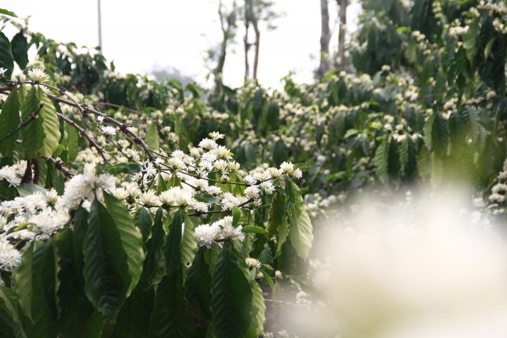 Do thời tiết và khí hậu ở các tỉnh khác nhau nên hoa cà phê nở rải rác thành nhiều đợt. Nhưng hoa cà phê vẫn mang trong mình một nét đẹp riêng, quyến rũ khiến ai từng được chiêm ngưỡng cũng khó có thể quên.