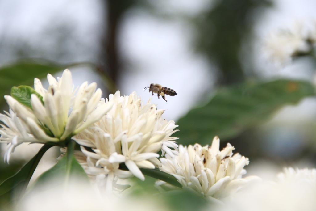 Chỉ cần một cơn gió thoảng qua, hương thơm của hoa cà phê lan tỏa thu hút được rất nhiều ong bướm rủ nhau ghé thăm.
