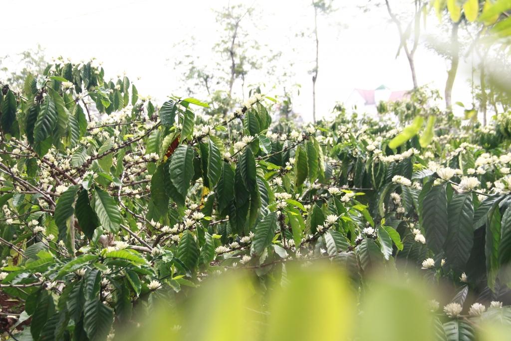 Sáng sớm, khi những giọt sương còn đọng trên tán lá, đi dọc con đường đất đỏ mọi người có thể chiêm ngưỡng được sắc hoa cà phê trắng muốt.
