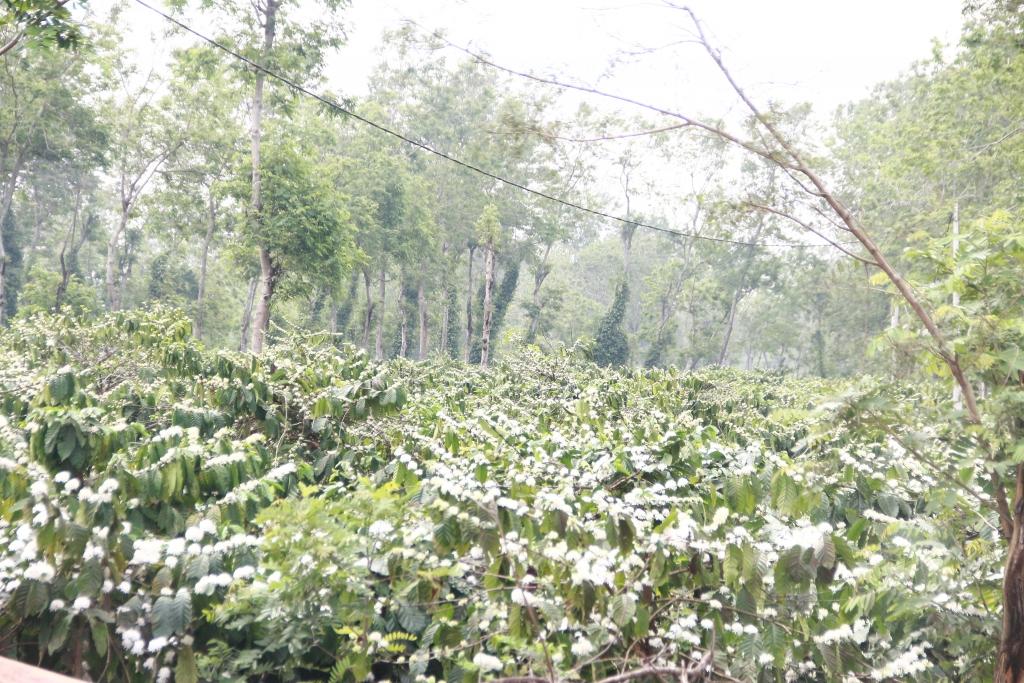 Nhìn từ xa, những bông cà phê nở bung tựa như những bông tuyết trắng xóa kéo dài vô tận.