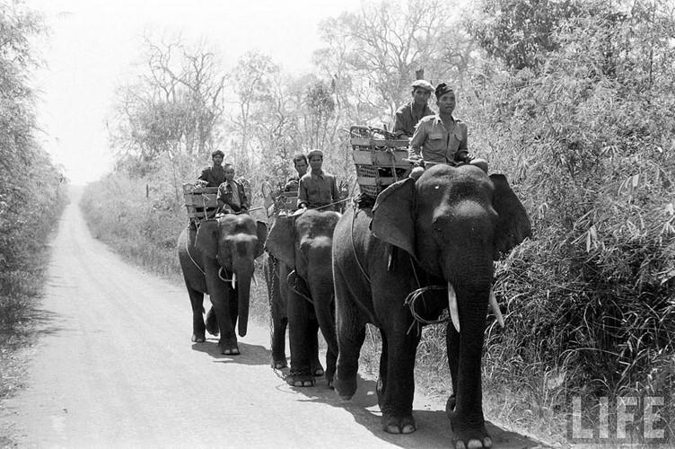 Những con voi được đưa về Buôn Ma Thuột để tham dự hội chợ. Ảnh: Life.