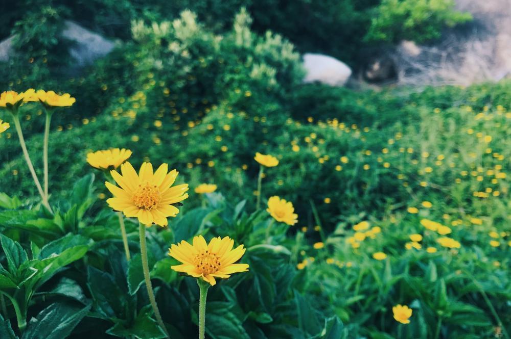 Hoa vàng cỏ xanh ở khu dã ngoại Trung Lương.
