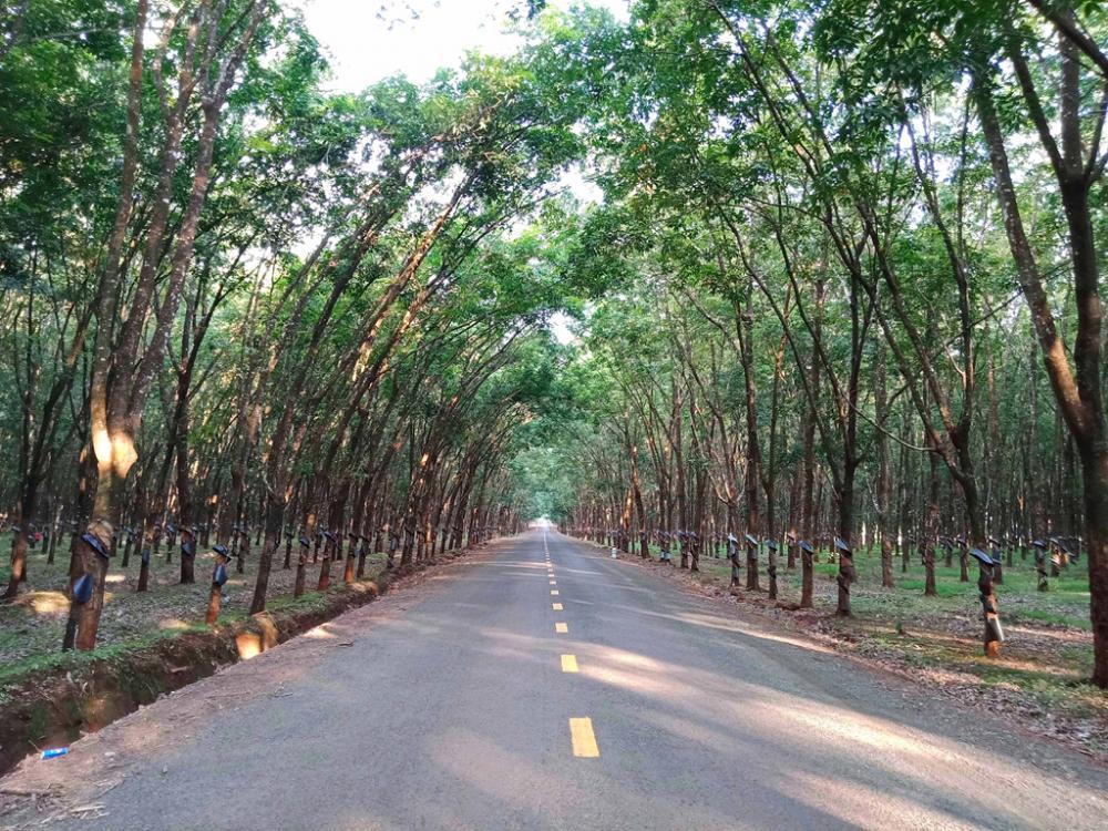 Con đường tuyệt đẹp chạy ngang rừng cao su gần tới Quốc lộ 19.