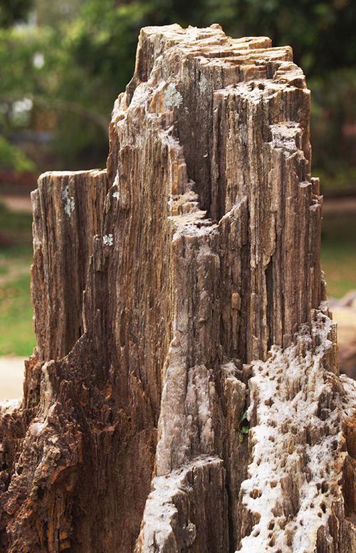Gỗ hóa thạch có hình như một khúc cây mục.