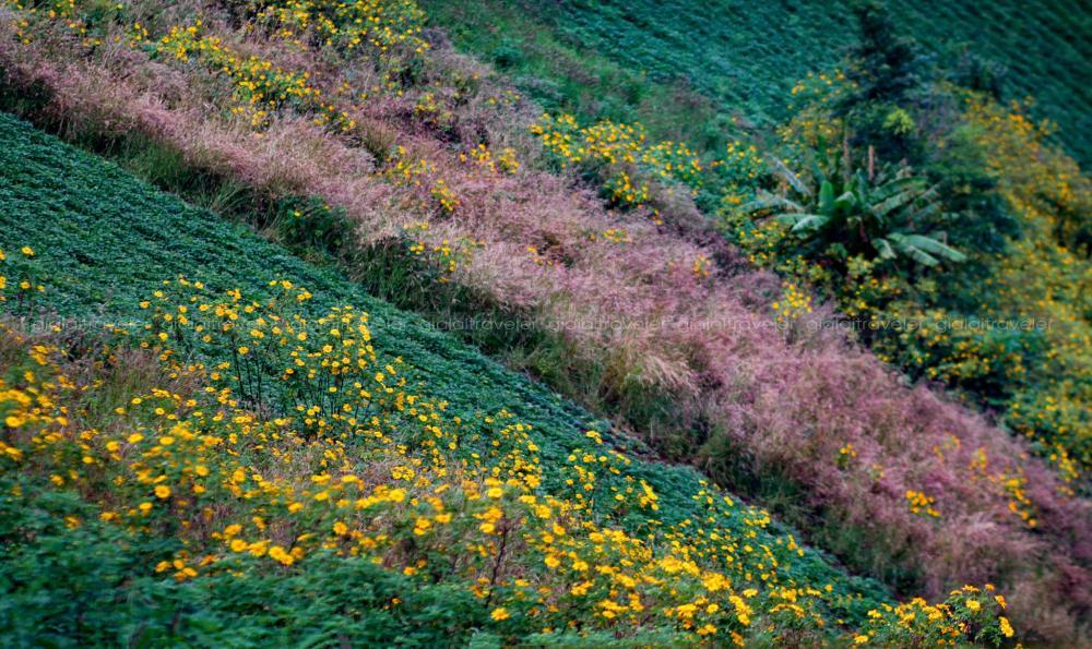 Sự kết hợp màu sắc tự nhiên của hoa và cỏ đuôi chồn chen nhau đua thắm, tạo nên những góc hoa thật đẹp giữa ruộng khoai lang thẳng tắp.