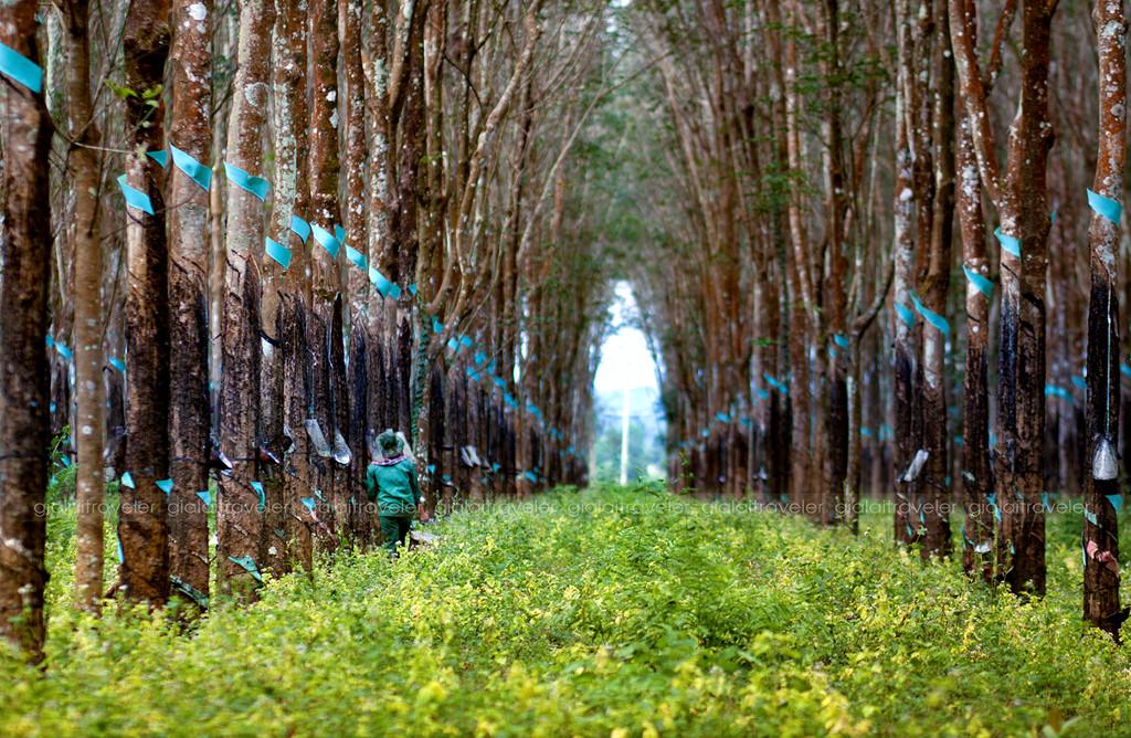 Không chỉ là buổi sớm mai, cảnh sắc thiên nhiên Gia Lai còn hiện lên đầy sức quyến rũ qua những bức ảnh Công chụp khi lang thang cuối tuần dạo chơi, khám phá. Cánh rừng cao su Chư Păh bạt ngàn với hai hàng cây cao vút là một bức tranh tuyệt đẹp mà bạn ngỡ như không phải ở Việt Nam.