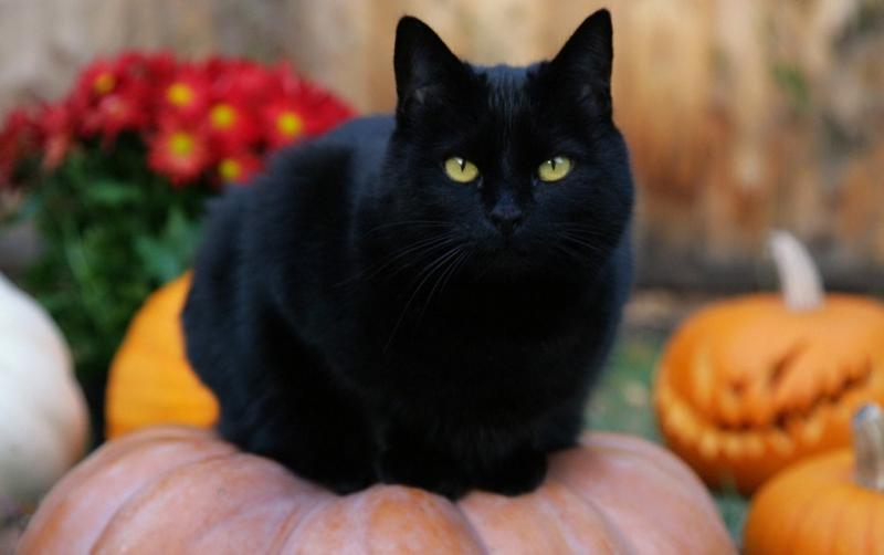 Mèo đen: Thường bị coi là biểu tượng của xui xẻo, hình ảnh mèo đen là một phần không thể thiếu của lễ Halloween. Quan niệm này có từ thời Tiền Trung Cổ, khi các cuộc săn phù thủy thường xuyên diễn ra. Nhiều phụ nữ lớn tuổi sống một mình bị buộc tội, và mèo cưng của họ bị cho là những con vật ma quỷ, hầu cận của phù thủy. Một truyền thuyết thời trung cổ khác cho rằng Satan biến thành mèo khi liên lạc với các phù thủy. Ảnh: Theodysseyonline.