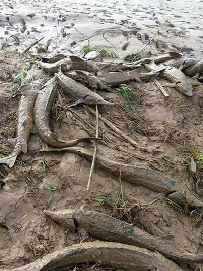 Cám tầm bị nước lũ cuốn trôi ven suối, sông Krông Bông. Ảnh: Người dân cung cấp.