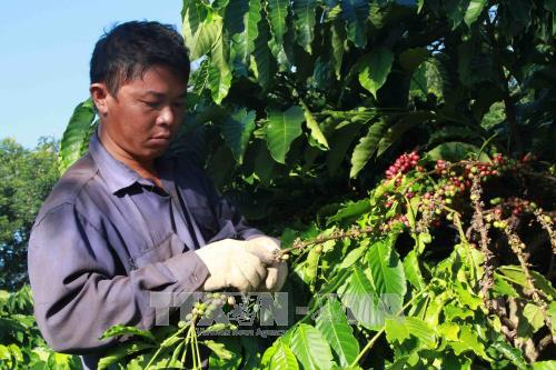 """Cà phê nhân """"rớt giá"""", công thu hoạch tăng cao người sản xuất điêu đứng. Ảnh minh họa: Phạm Cường-TTXVN"""