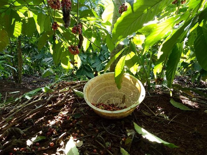 Cà phê chín rụng khó thu hoạch