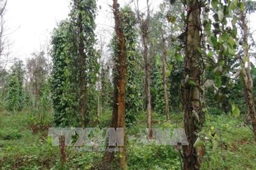 Nông dân ở Tây Nguyên được khuyến cáo không mở rộng diện tích vườn tiêu. Ảnh minh họa: TTXVN