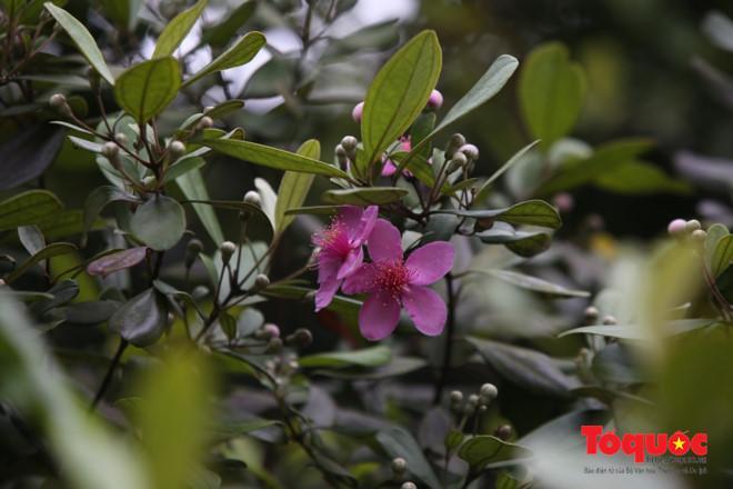 Khí hậu trên bán đảo Sơn Trà mát mẻ nên vào mùa nào hoa cũng đua nở. Tiết trời giao mùa cuối xuân, đầu hạ càng thích hợp cho loài sim khoe sắc...