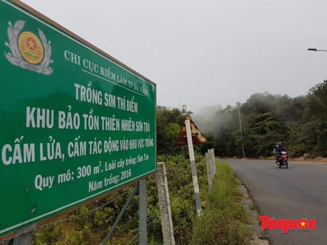 Điểm trồng sim thí điểm trên bán đảo Sơn Trà cách trung tâm thành phố Đà Nẵng khoảng 10km...
