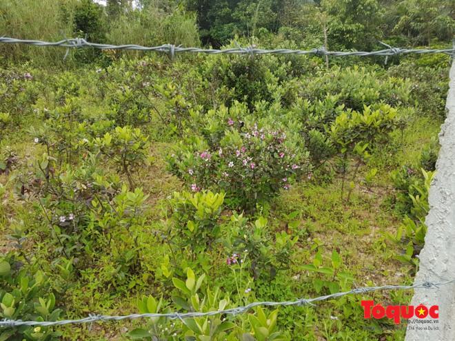 Tại điểm trồng sim thí điểm, ngành chức năng đã rào để bảo vệ cây sim để cây trưởng thành...