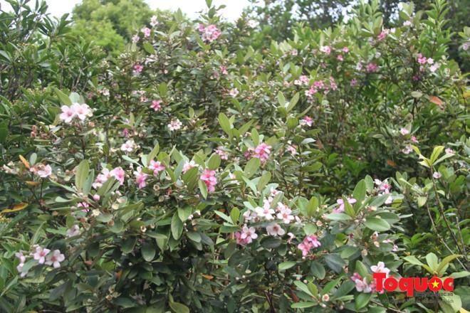 Dọc hai bên đường lên bán đảo Sơn Trà, nhiều cây sim cũng nở hoa khoe sắc, quyến rũ lòng người...
