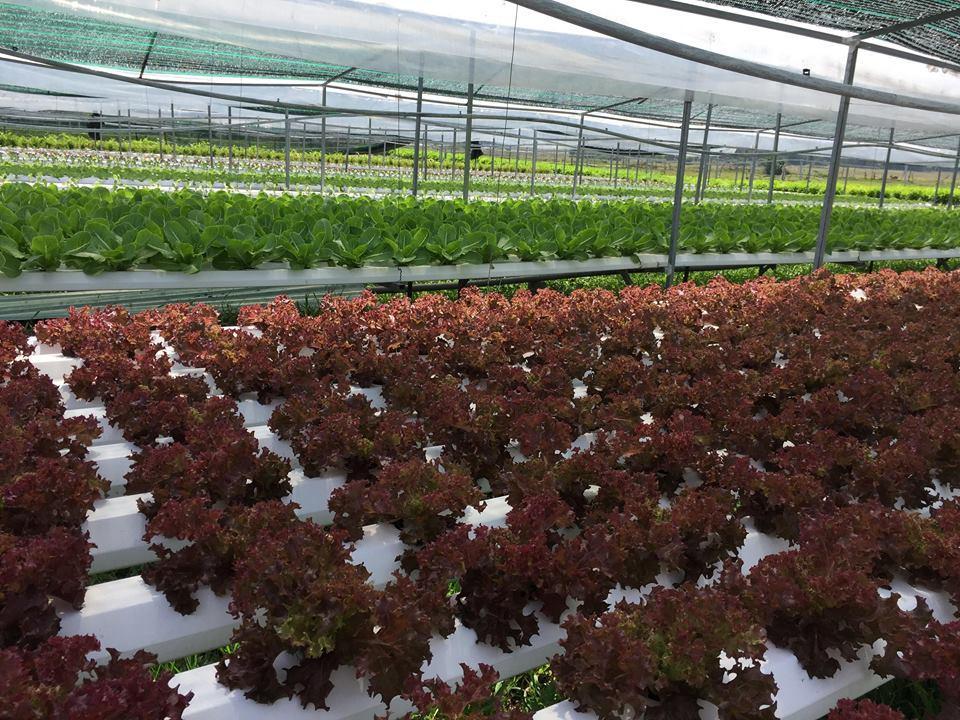 Với dòng sản phẩm trồng theo phương pháp sạch, an toàn đã chinh phục được những khách hàng khó tính tại thị trường Đà Nẵng, Hội An để có đầu ra ổn định.